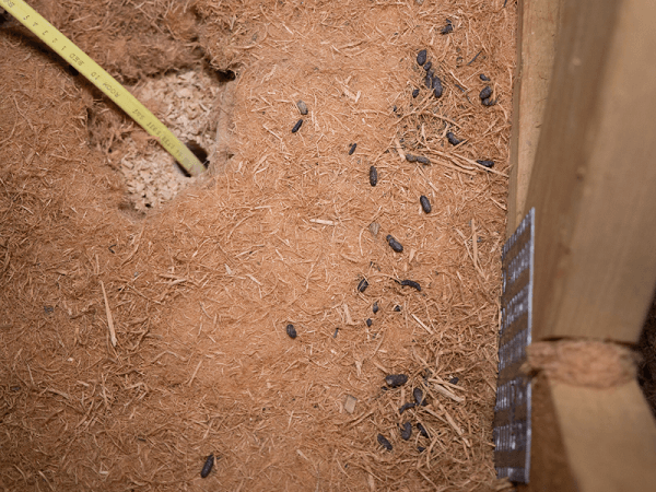 Contaminated Attic with Rodent Droppings