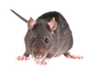 rat-control-seattle